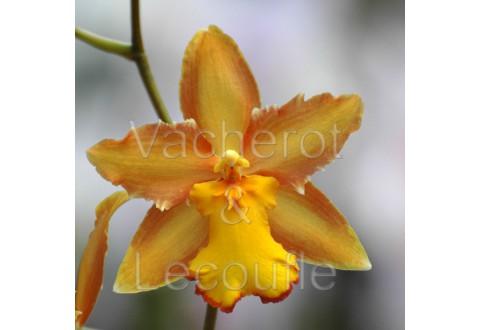 2020-11-07 - 10h30 Les orchidées à pseudobulbes