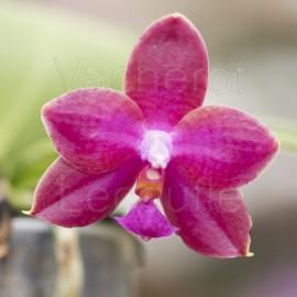 Phalaenopsis Jungo Cherry