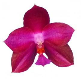 Phalaenopsis Lea Marie Salazar