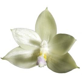 Phalaenopsis floresensis (syn. rofino)