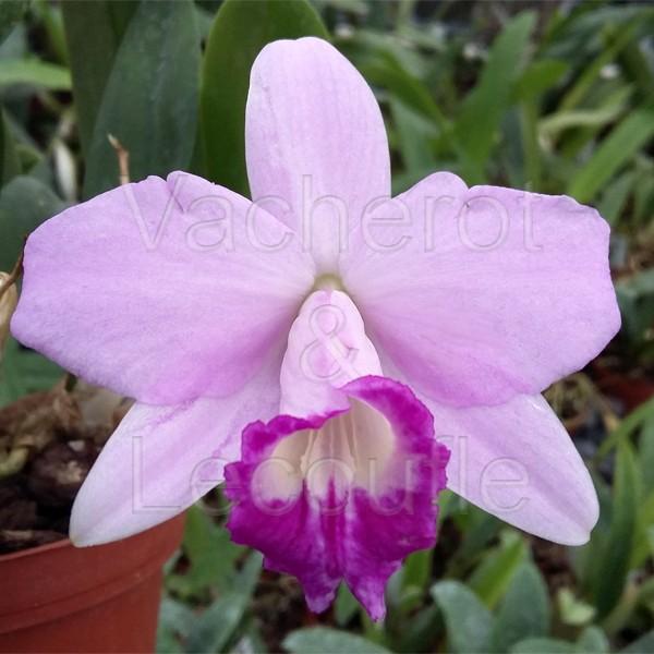 Cattleya Teipels Sincolori (sincorana x alaorii)