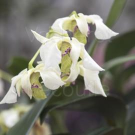 Dendrobium Hermon Slade