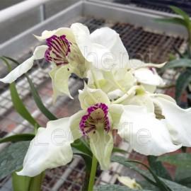 Dendrobium (eximium x rhodostictum)