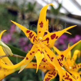 Brassidium Golden Star
