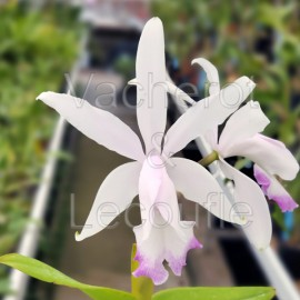 Cattleya intermedia var. irrorata