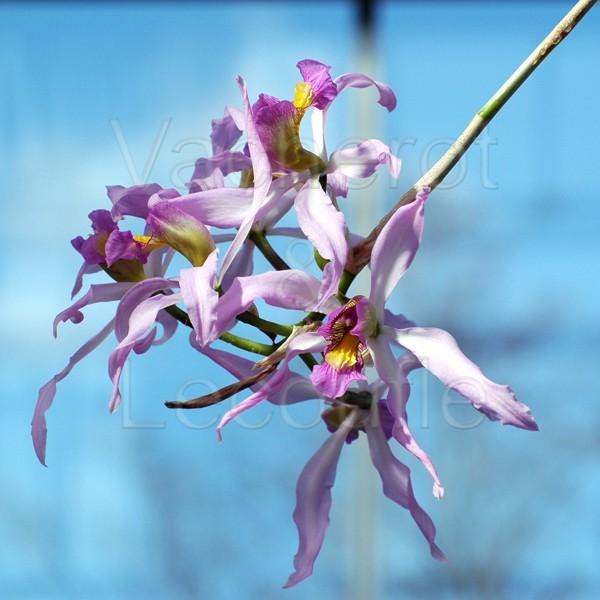long vit des orchid es vente faq g n ralit s en ligne. Black Bedroom Furniture Sets. Home Design Ideas