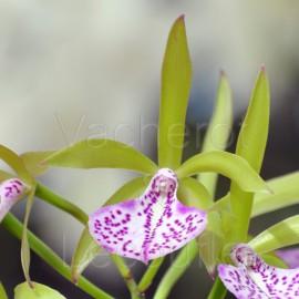 Cattleya Binosa 'Wabash Valley' AM/AOS (Bc.)
