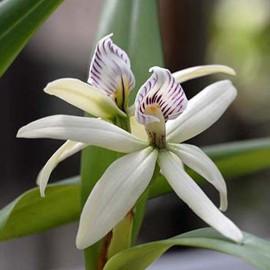 Encyclia pentotis