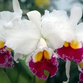 Cattleya : floraison
