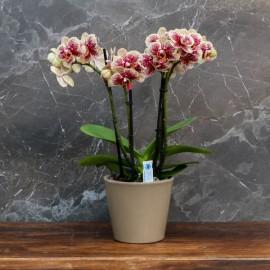 """Cache-pot orchidée """"Philippines"""""""