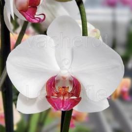 Phalaenopsis Red Eye