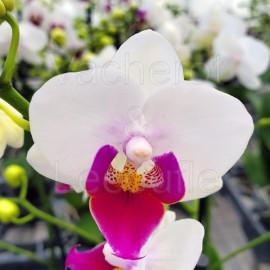 Phalaenopsis Lovettina
