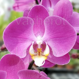Phalaenopsis Donatella