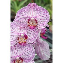 Phalaenopsis Hirondelle
