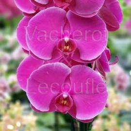 Phalaenopsis African Queen