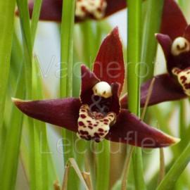 Maxillaria houtteana