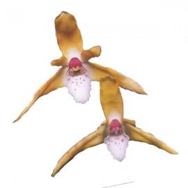 Maxillaria ubatubana