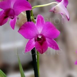 Dendrobium phalaenopsis Pink Flash