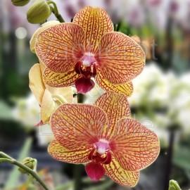 Phalaenopsis Apollo