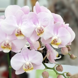 Phalaenopsis Angel Eyes