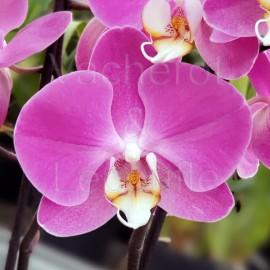 Phalaenopsis Imperia