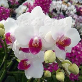 Phalaenopsis Lovette