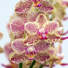 Phalaenopsis Wild Princess