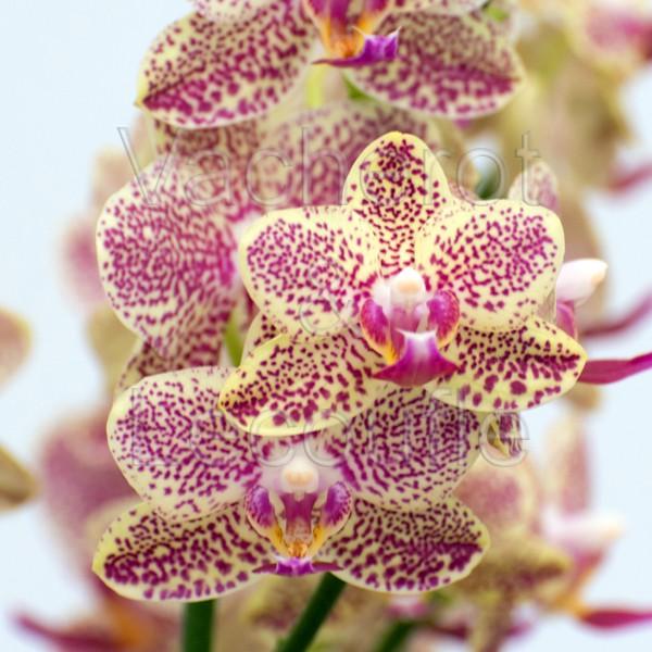 Phalaenopsis Wild Prncess