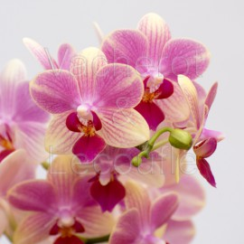 Phalaenopsis Summer Song