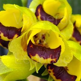 Gomesa echinata 'Swarming Bees' (syn. Baptistonia)