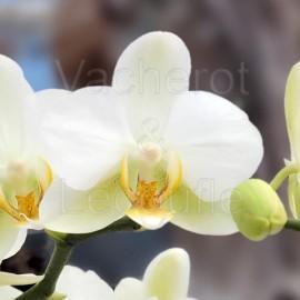 Phalaenopsis Lausanne double plante