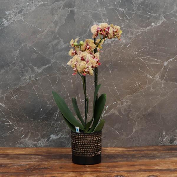 """Cache-pot orchidée """"Miami"""" métal effet brossé ø12 cm"""