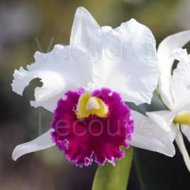Cattleya Orglade's Grand (Lc.)