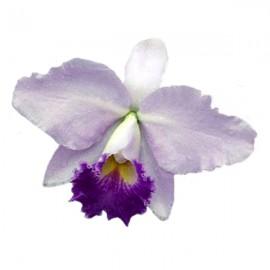 Cattleya Hiroshima Melody 'Blue Gene' (Lc.)