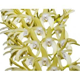Dendrobium speciosum 'Palmerstone' AM/AOS x 'Daylight Moon' FCC/AOS