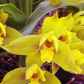 Lycaste (Golden Ray x aromatica)