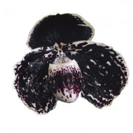Paphiopedilum godefroyae Black