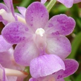Aerides krabiensis