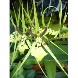 Brassia gireoudiana