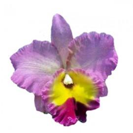 Cattleya Nakornchaisri Pink  (Blc.)