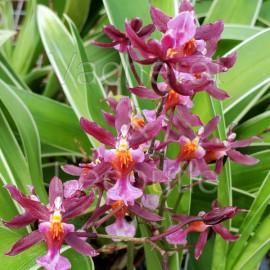 Oncidium Katrin Zoch variegata