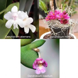 Collection MINI CANNES (Dendrobium)