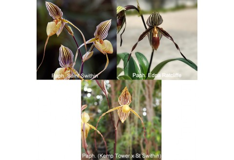 Collection MOUSTACHES N° 1 (Paphiopedilum)