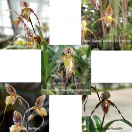 Collection MOUSTACHES N° 3 (Paphiopedilum)