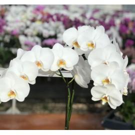 Phalaenopsis blanc délicat à grandes fleurs