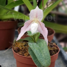 Paphiopedilum Vipanii (philippinense x niveum)