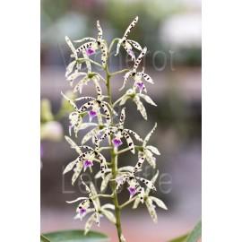 Prosthechea prismatocarpa (syn. Epidendrum prismatocarpum)