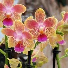 Phalaenopsis Aroma 'Pichu'