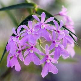 Epidendrum centropetalum (syn. Oerstedella centradenia)