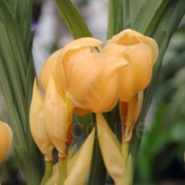 Fiche de culture de l'orchidée ANGULOA, LYCASTE & ANGULOCASTE